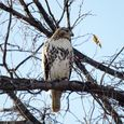 Red tailed hawk croton pt